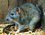 Rattus norvegicus norvegicus